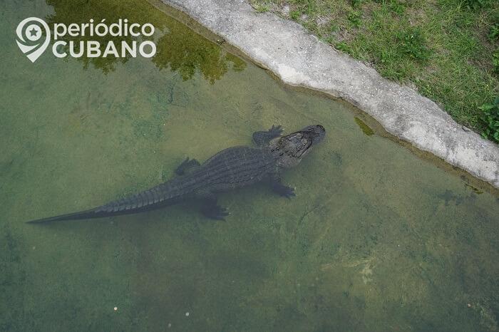 Caimán ataca a joven de 14 años que caminaba cerca de un estanque en Florida