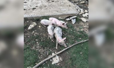 Burocracia y pretextos: Denuncian obstáculos del régimen de Cuba a la producción de cerdo