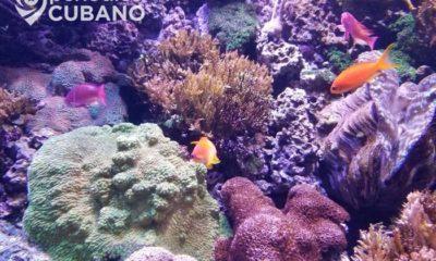 Especialistas cubanos trabajan en el rescate de arrecifes coralinos de la Isla