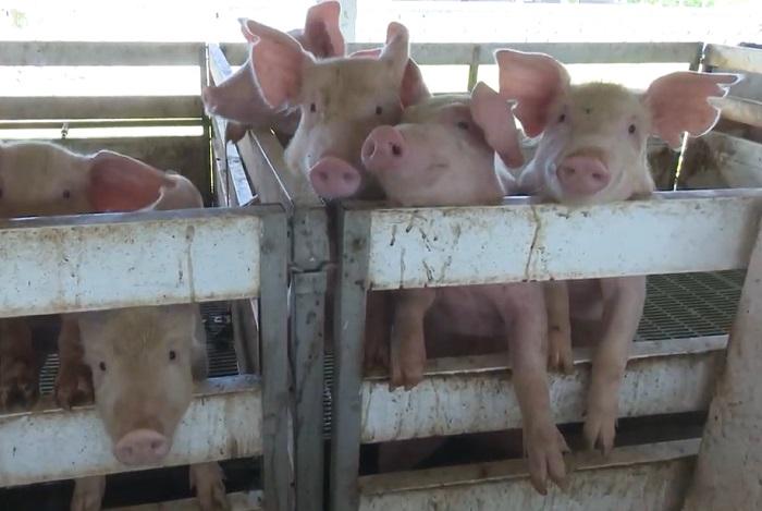 Gobierno asegura que podrá alimentar a varias provincias en Cuba con solo 1.200 cerdos