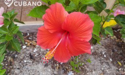 Prensa oficialista recomienda a los cubanos hacer la mermelada con la flor de marpacífico