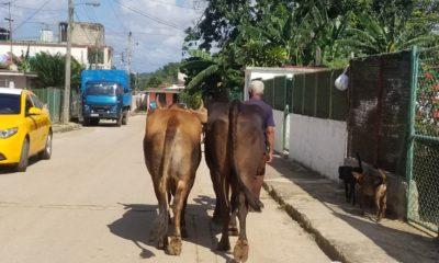 Ganaderos cubanos producen menos leche debido a la Tarea Ordenamiento