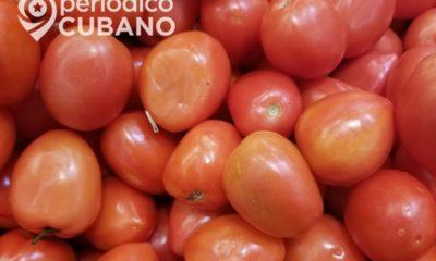 Periodista oficialista señala la disminución de producción de tomate en Ciego de Ávila