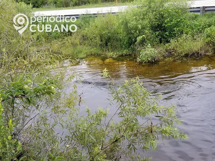 Alertan sobre el inicio de la temporada de apareamiento del cocodrilo americano en Florida