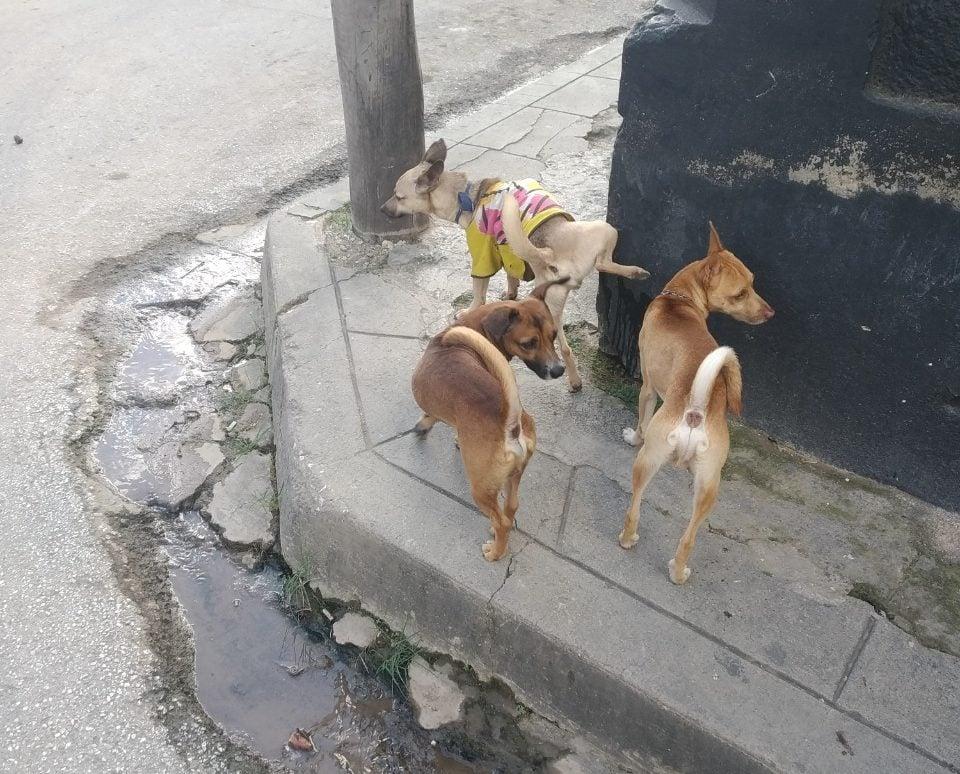 Cachorros de Rottweiler por solo 6.268 CUP lucrativo negocio del Gobierno cubano