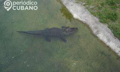 Capturan a un caimán que estaba deambulando en calles de Coral Gables