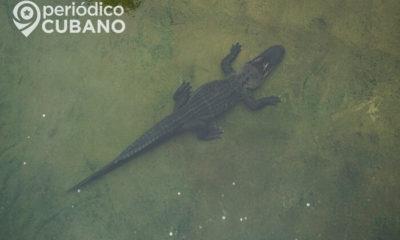 Dos mujeres sacaron a un caimán que entró a su hogar en Florida