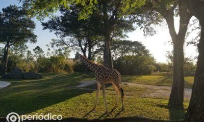 Zoológico de Miami tiene nuevas crías de jirafas