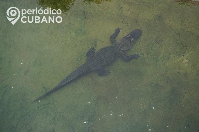 Disney ha retirado a más de 200 caimanes de su parque temático en Florida