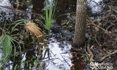 Joven pescador es perseguido por un caimán en los Everglades