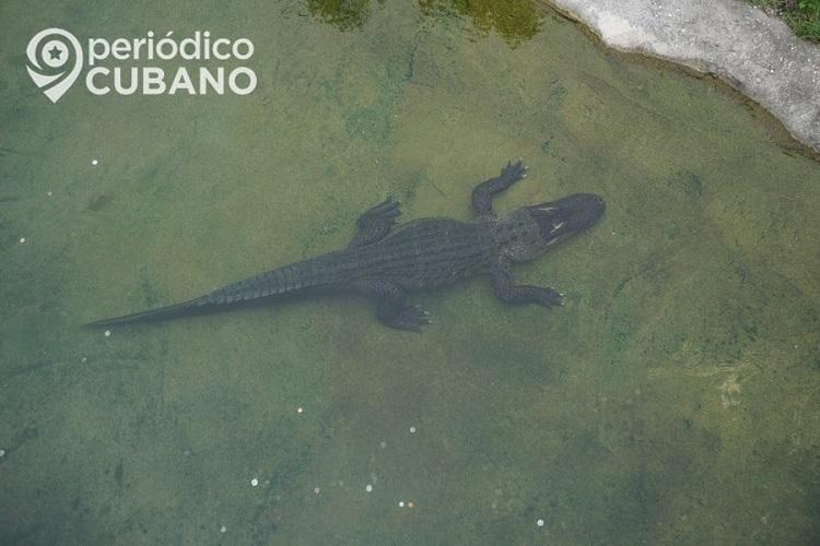 Caimán muerde a hombre que chapoteaba en un estanque. (Imagen de referencia: Periódico Cubano).