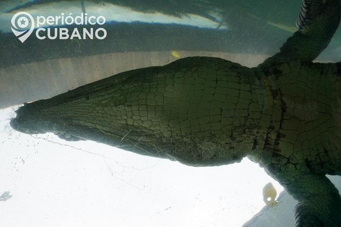 Enorme cocodrilo visita a una oficina de correos en Florida