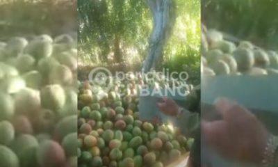 Miles de mangos se pudren