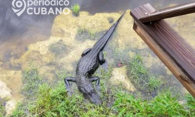 big cypress national preserve oasis visitor center cocodrilo (1) (1)