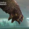 Un caimán de ocho pies queda atrapado en una alcantarilla de Miami-Dade